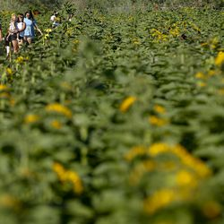 People walk through a field of sunflowers at the Cross E Ranch Sunflower Festival in Salt Lake City on Tuesday, July 14, 2020. The festival features a 14-acre sunflower field planted with over 20 varieties of different shapes, sizes and colors.