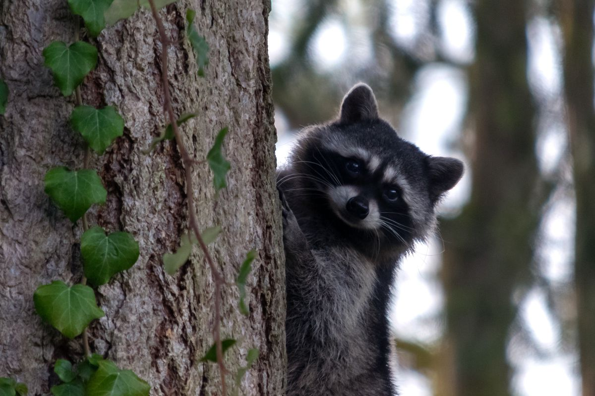 A racoon peeks out from behind a tree trunk with deeply textured bark and a vine climbing up the front. Blurry trees are in the background.