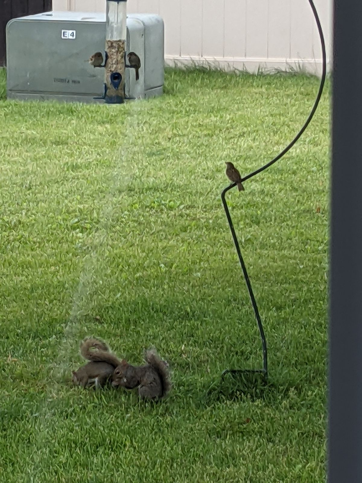 Two backyard rodents squirrel away spilled grain under a bird feeder, while one bird sits and waits its turn. Credit: Dale Bowman