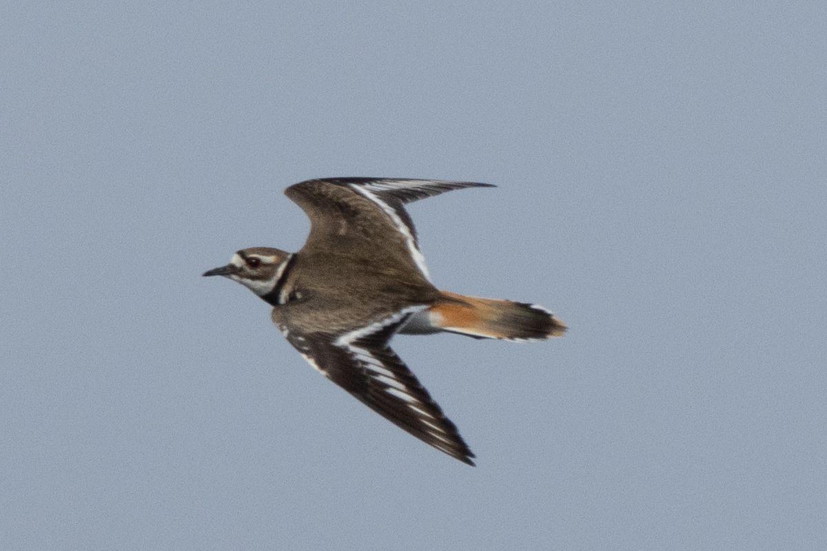 A killdeer in flight at McDowell Grove. Credit: Dr. Elizabeth Pector