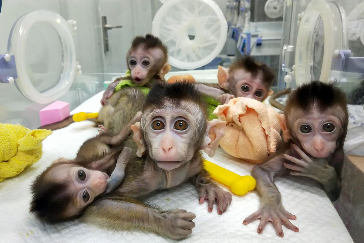 This picture released by the Chinese Academy of Sciences Institute of Neuroscience shows five cloned macaques at a research institution in Shanghai.