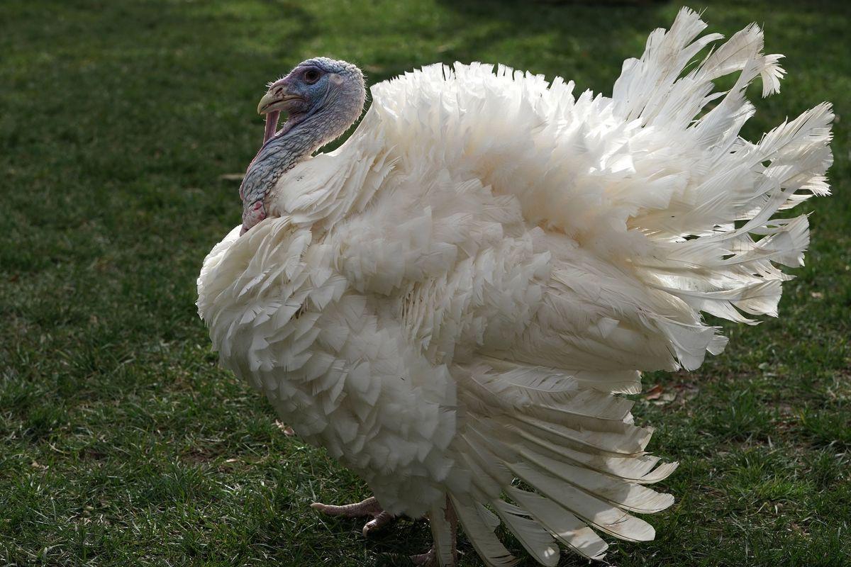 President Trump Officially Pardons National Thanksgiving Turkey