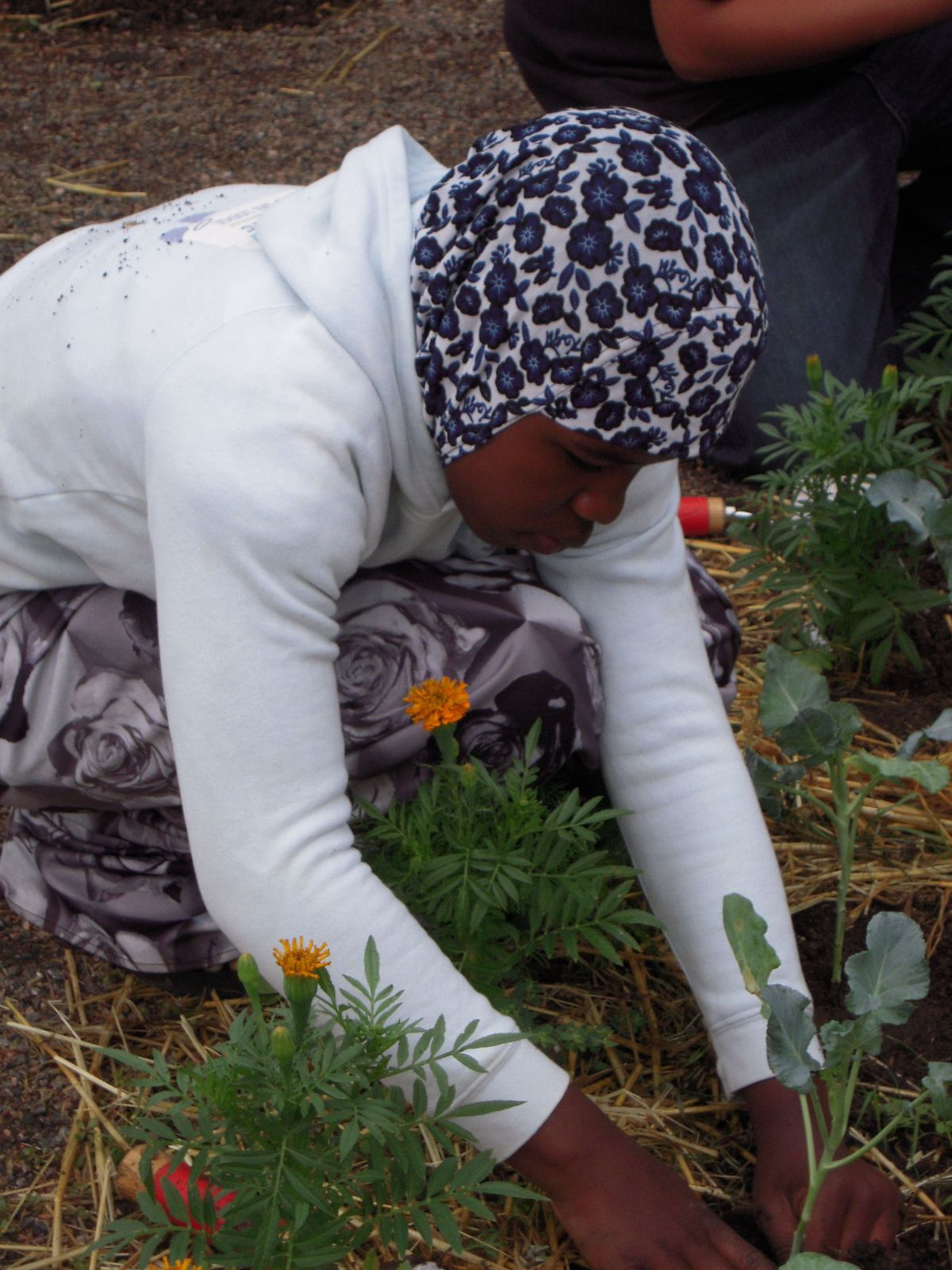 Fartun Sherif, 11, works in the broccoli patch at Fairview's school garden.