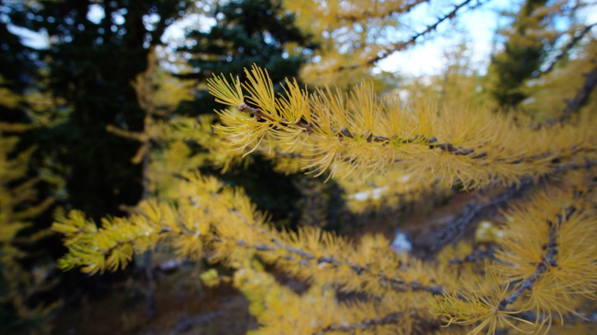 A close-up of what looks like evergreen tree branches, but the needle-like leaves are a bright yellow-orange.