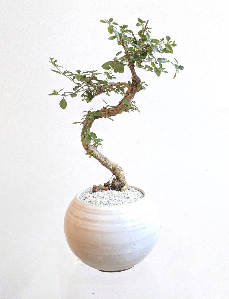 Buy indoor plants online at these stores - Curbed on 2000 chevy crew cab dually for sale, trulia for sale, overstock for sale, auctions for sale, olx for sale, magazine for sale, bing for sale, list items for sale, maxim for sale, classifieds for sale, hotpads for sale, skype for sale, internet for sale, target for sale, angie's list for sale, instagram for sale, ford f650 tow truck for sale, weather for sale, 1981 datsun 4x4 for sale, facebook for sale,