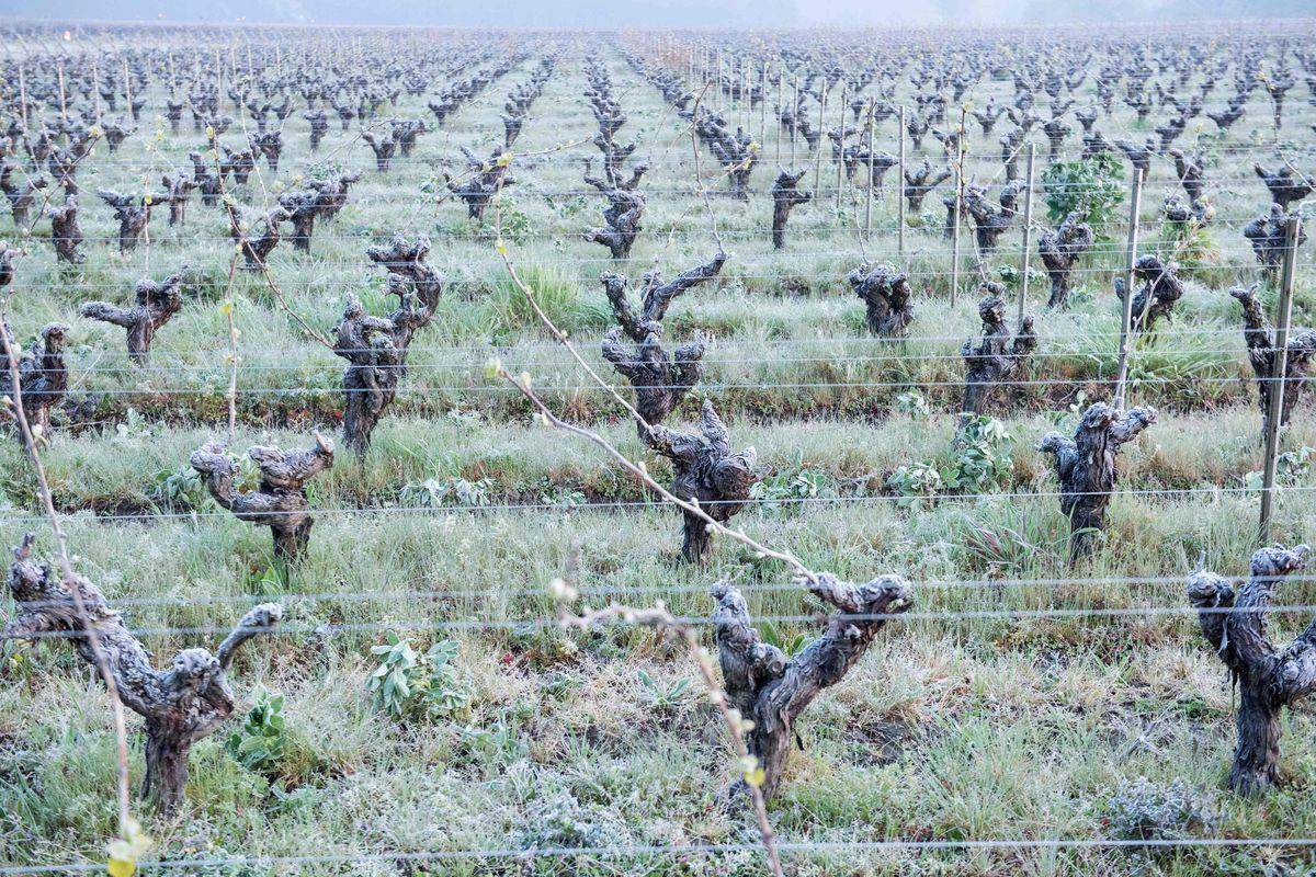 Rows of frozen grape vines in western France