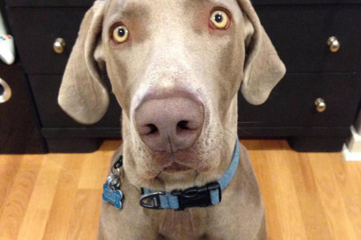 Geist, a 110-pound Weimaraner, was shot and killed June 18, 2014, by a Salt Lake police officer. The dog was in its own backyard in Sugar House, where the officer entered to look for a missing 3-year-old boy.