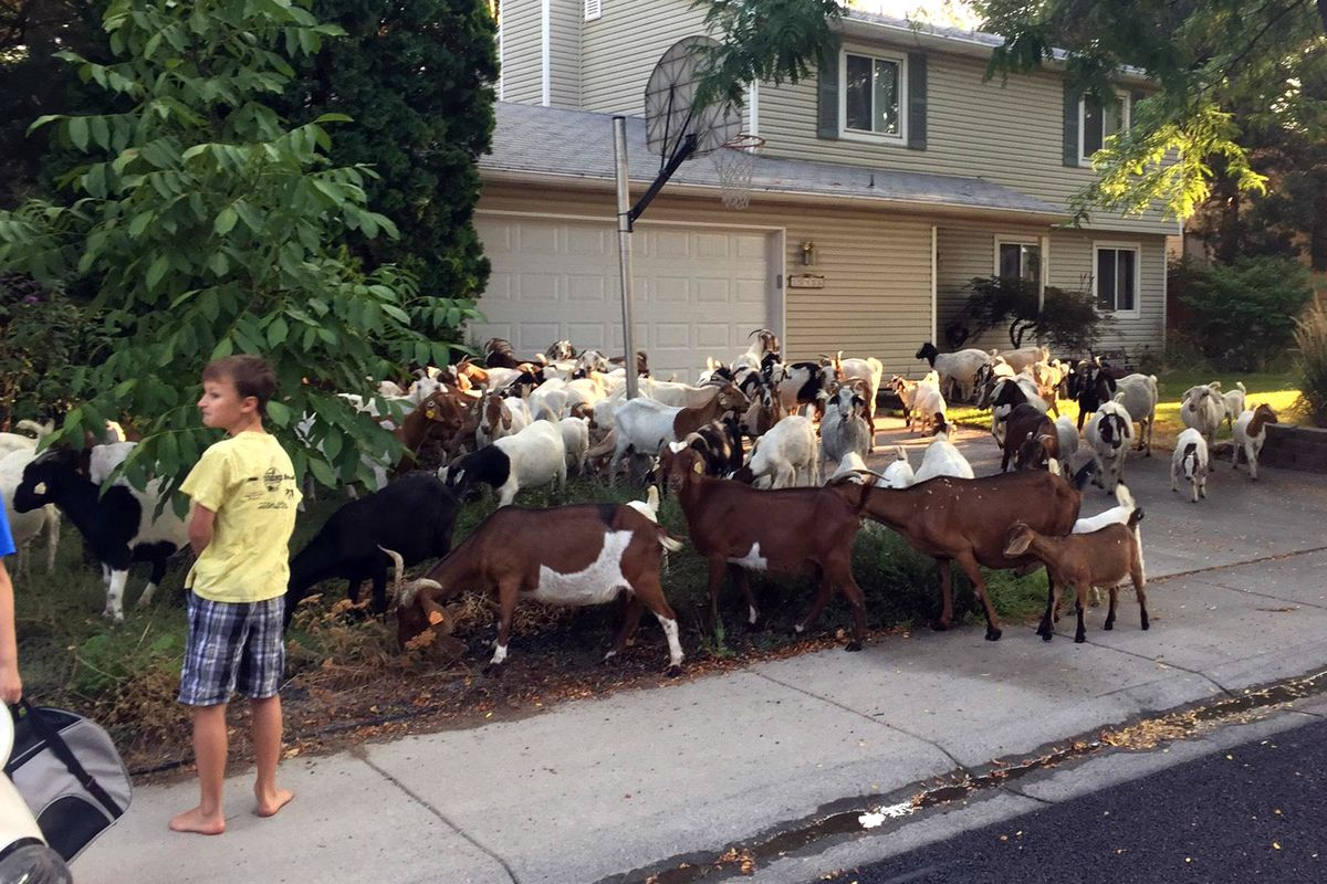 Scores of goats much on the flora and fauna in a residential area of Boise, Idaho, Friday, Aug 3, 2018. About 100 escaped goats munched on manicured lawns in Idaho's capital city on Friday morning before being rounded up and hauled away. (Ruth Brown/Idaho