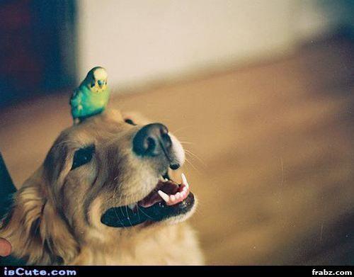 Cespedes parakeet