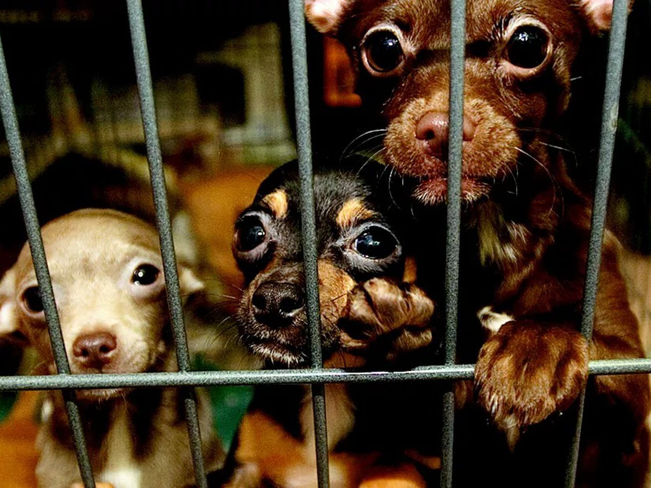 Chihuahuas rescued from a suspected puppy mill in Peotone.