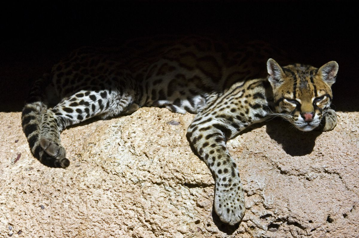 Photo of an ocelot napping on a craggy rock. Endangered in the US, but still found in southeastern parts of Texas
