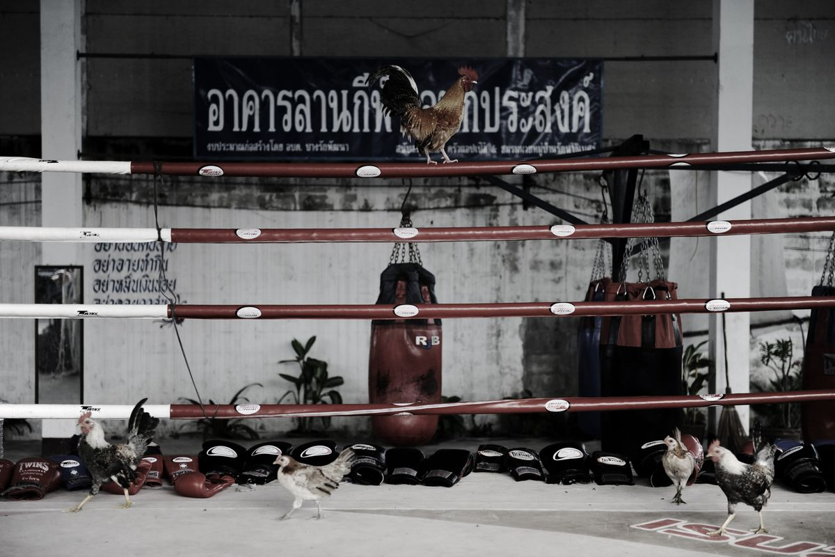 A Muay Thai ring in Thailand. The roosters have nothing to do with the story.