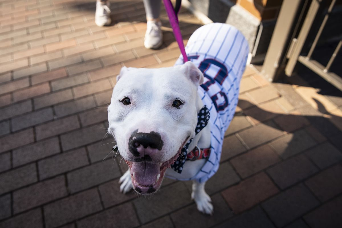 Lou, a 2-year-old pitbull, is dressed up in a Chicago Cubs jersey as she is walked around outside Wrigley Field shortly before the start of the opening day game against the Milwaukee Brewers, Friday evening, July 24, 2020.
