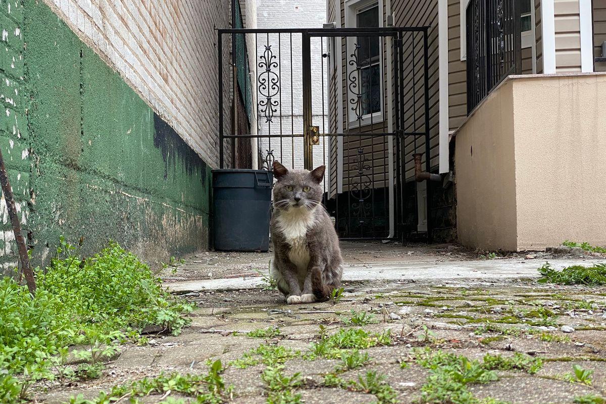 A cat grows in Brooklyn.