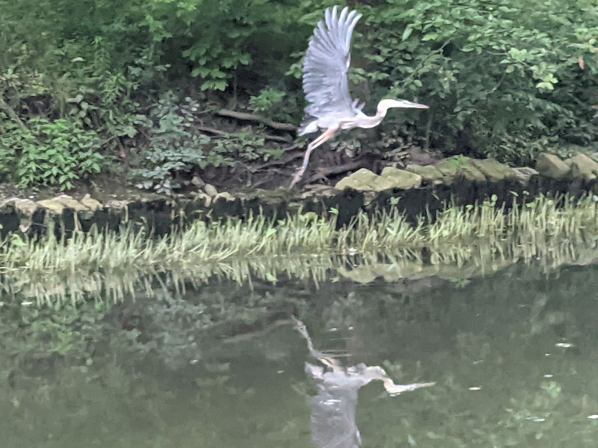 A great blue heron flaps off during a paddle on the North Branch of the Chicago River. Credit: Dale Bowman