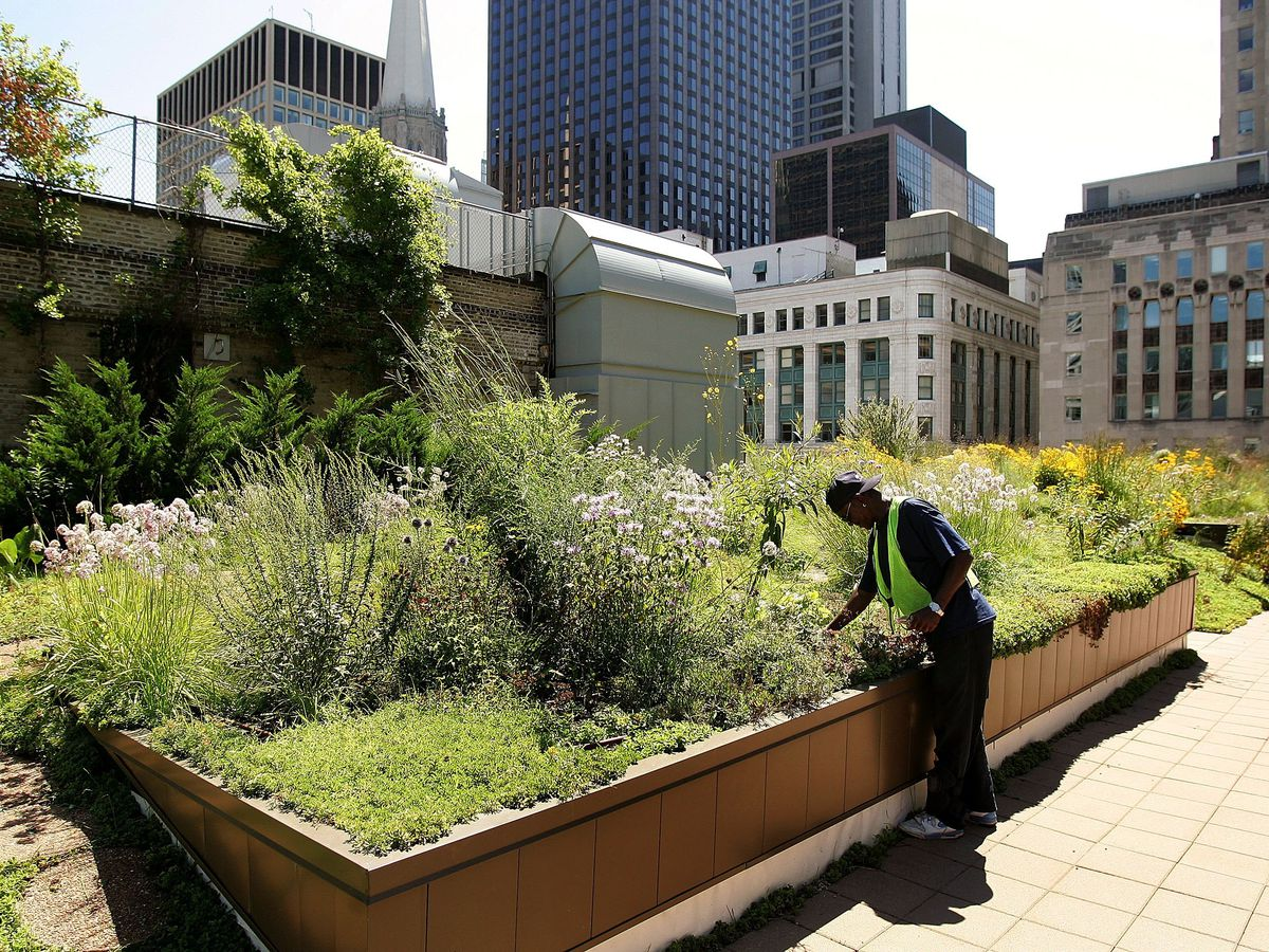 A rooftop in the middle of skyscrapers shows a garden of tall grasses, prairie flowers, and other plants that a man inspects.