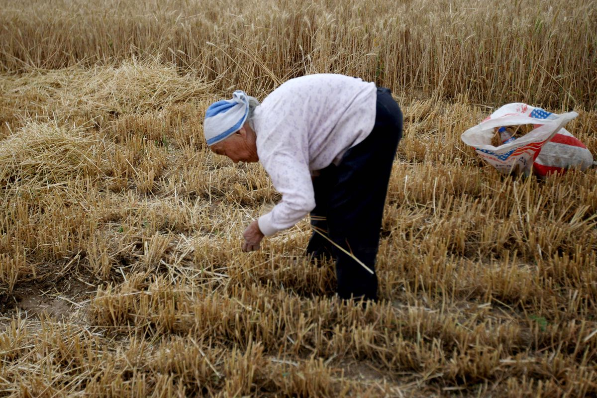 Photo of older woman gleaning wheat in a field