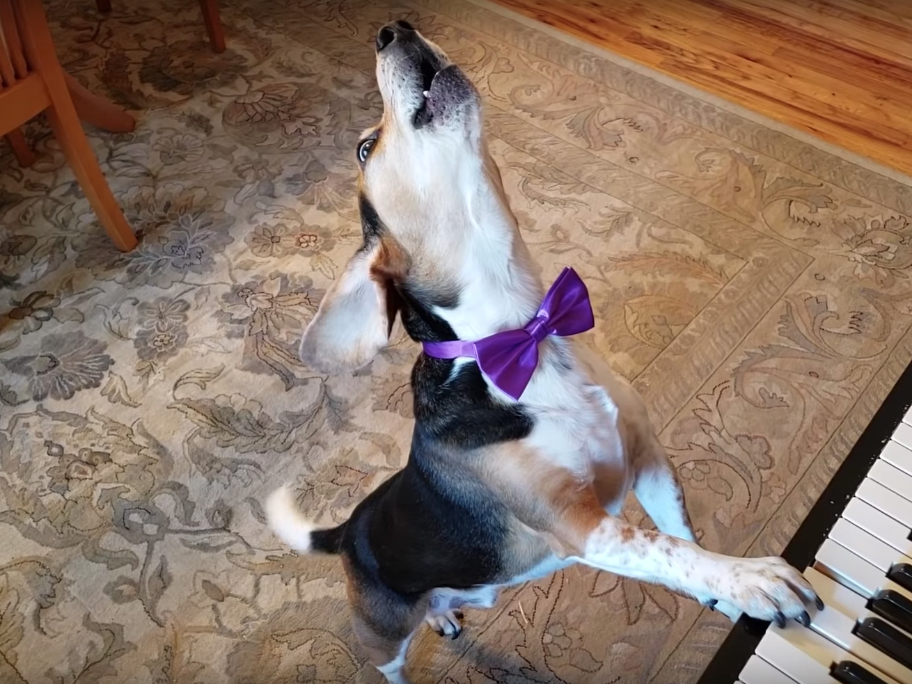 This Dog Wears Bowties And Plays Piano. We, Frankly, Are Not Worthy