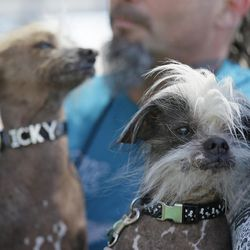 Icky, left, an unknown hairless, and Zoomer, right, a Chinese crested, both from Davis, Calif., wait to compete in the World's Ugliest Dog Contest at the Sonoma-Marin Fair Friday, June 23, 2017, in Petaluma, Calif.