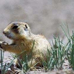 In this undated file photo released by Forest Guardians, a prairie dog eats in southwestern Utah.