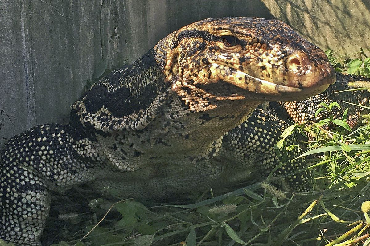 This Nov. 7, 2018 image provided by the Florida Fish and Wildlife Conservation Commission shows an escaped pet Asian water monitor lizard after it was captured in Davie, Fla.