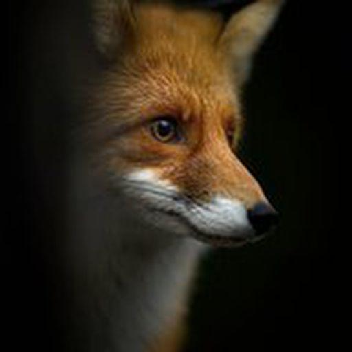 ToddtheFox