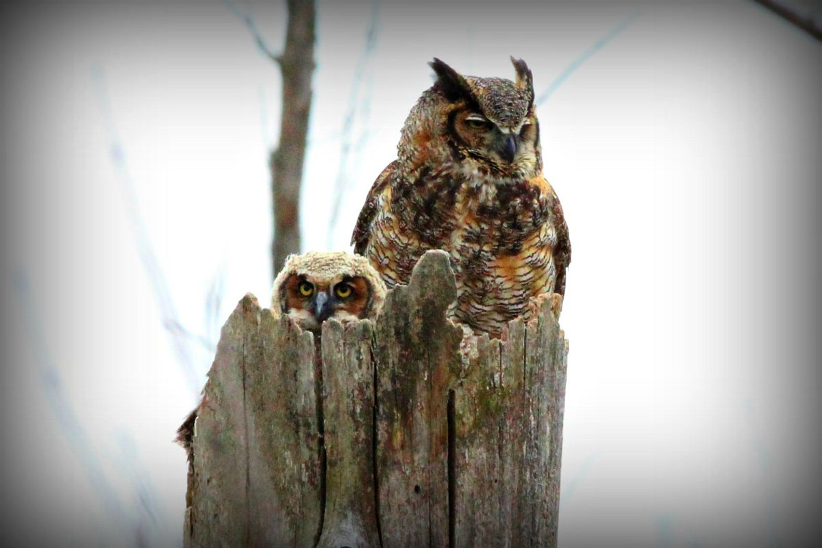 Mike Lewandowski of Lew Shots Photography photographed this great horned owlet in a rookery in Hammond, Ind. Credit: Mike Lewandowski of Lew Shots Photography