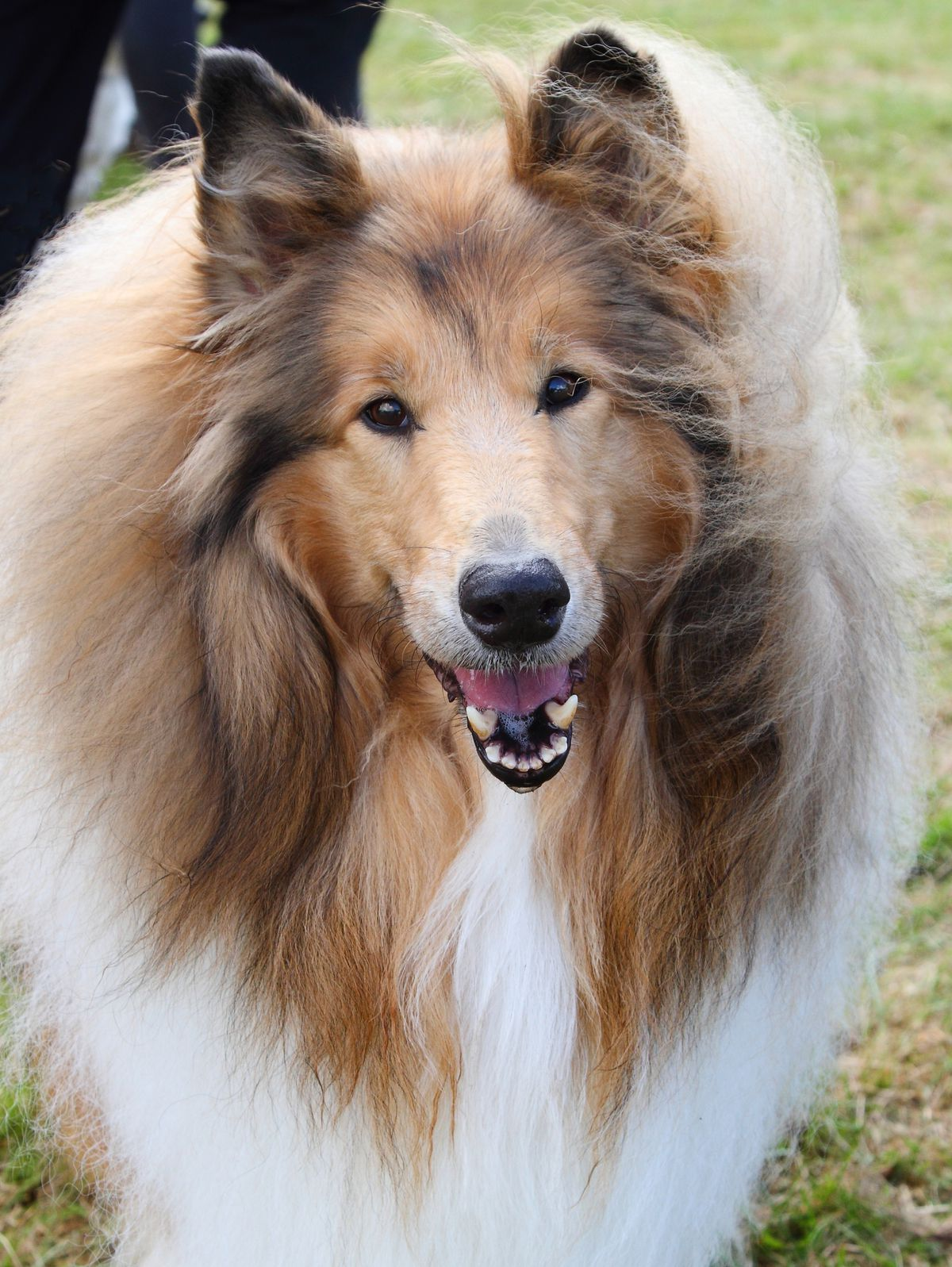 A shetland sheepdog seen during the Dogfest 2019 at...