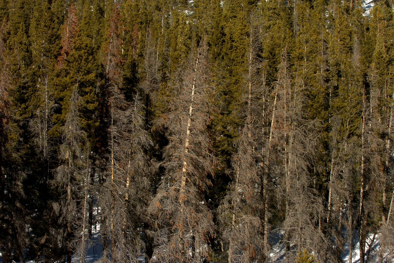 (HR) ABOVE: The red needles on the pine trees are dead lodgepole pines that have been killed by the pine beetle infestation. These trees were found near Rollinsville near the Peak to Peak highway. Federal and state forestry officials say that at current r