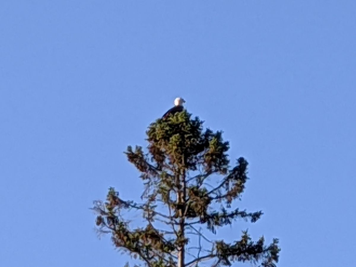 One of the many bald eagles spotted as usual during a much different Spring Classic, the annual muskie tournament on the Eagle River chain in northern Wisconsin put on by the Headwaters chapter of Muskies, Inc. Credit: Dale Bowman