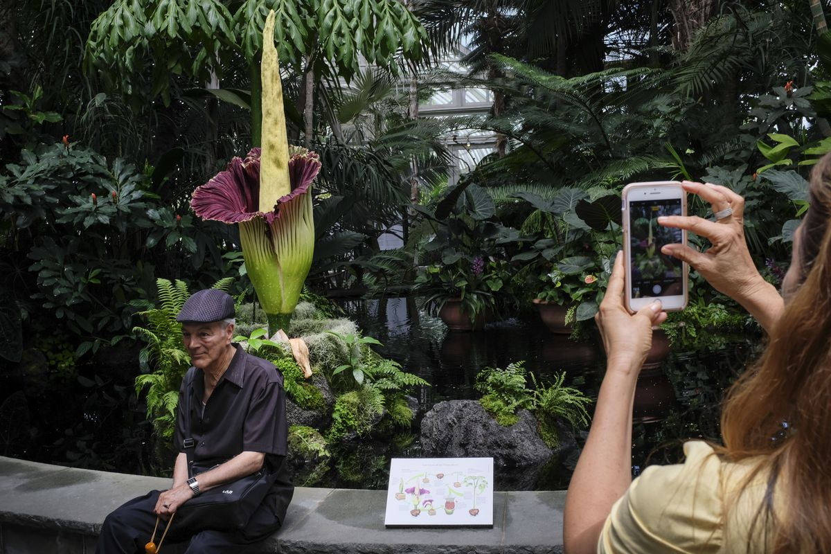 """Rare Blooming """"Corpse Flower"""" Draws Curious Crowds To New York Botanical Gardens"""