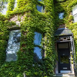 Town houses overgrown with ivy in Old Town | Tyler LaRiviere/Sun-Times