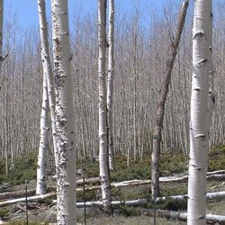 A grove of trees near Fish Lake is believed to be connected at the roots underground, making it the world's largest living thing. The nearly 50,000 trees cover more than 100 acres.