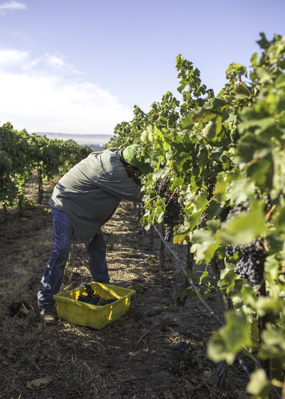 A man picks grapes in the field.