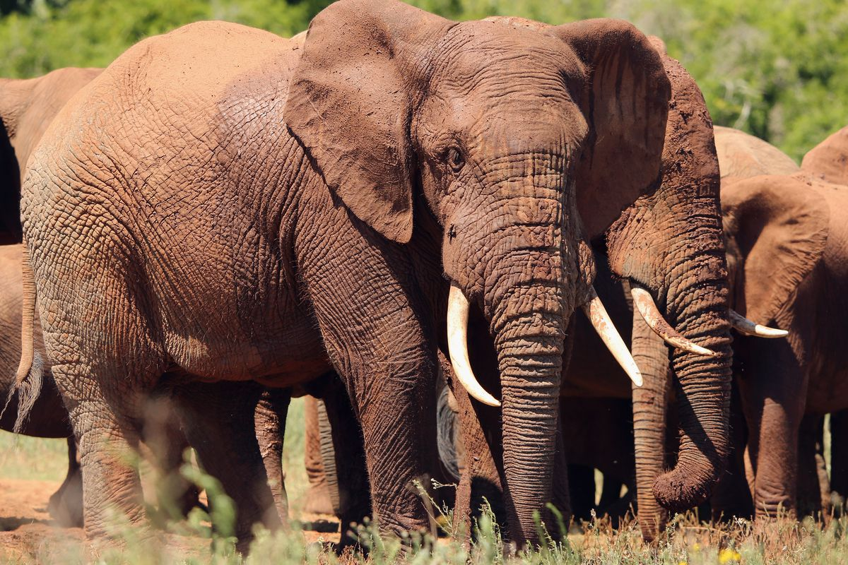 Poaching Is On The Rise Most Illegal Ivory Comes From Recently