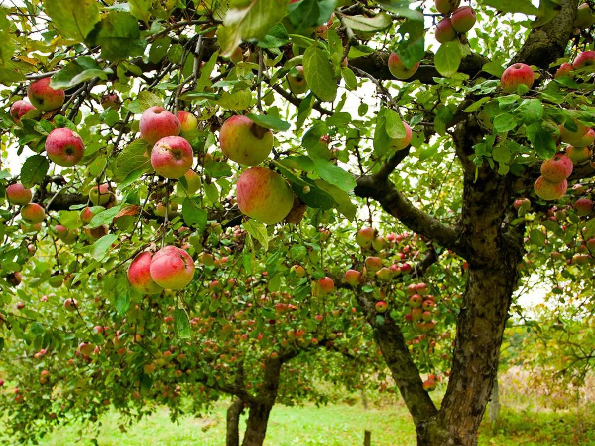 Mapping north georgia 39 s apple orchards in time for fall curbed atlanta - Planting fruit trees in autumn ...