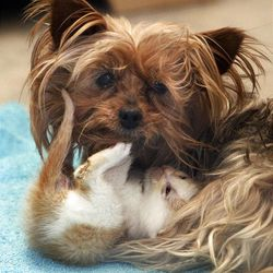 A yorkshire terrier named Bridget tends to kittens at the Humane Society of Utah in Murray, Friday, April 27, 2012.