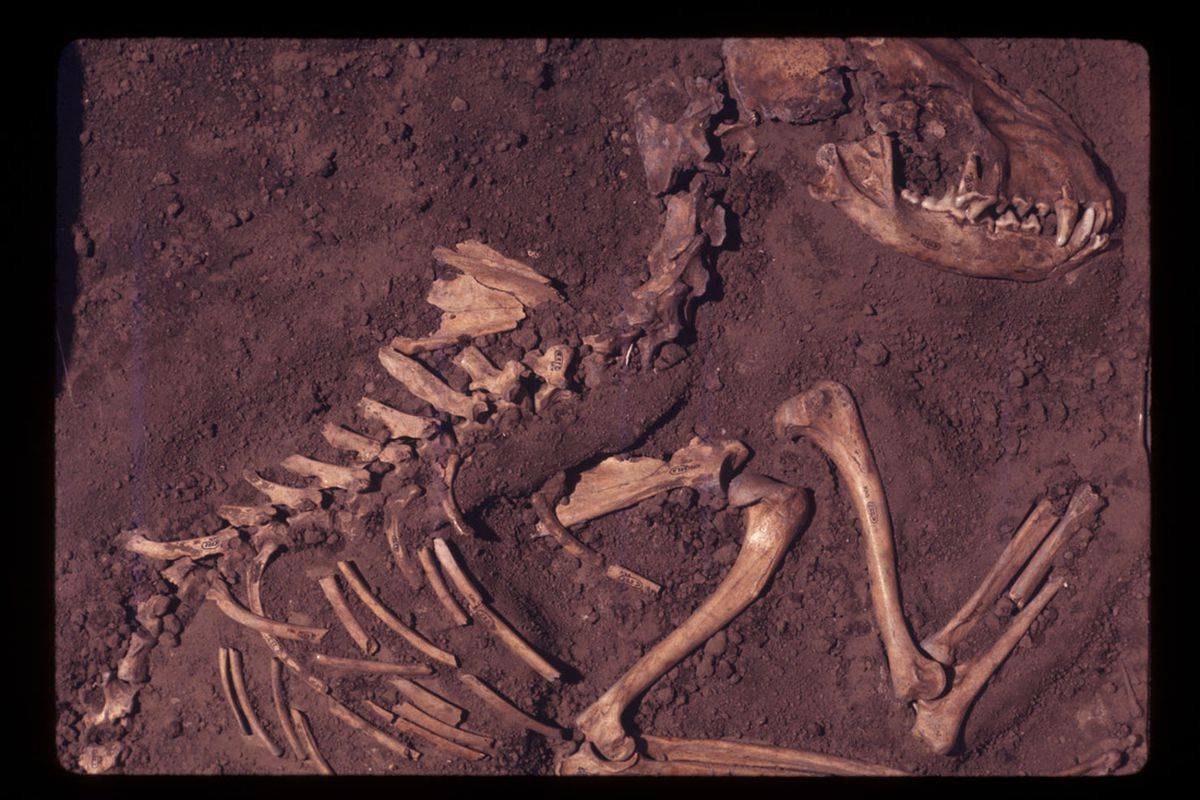 Dog burial from Horizon 11 of the Koster site, Greene County, Illinois, US