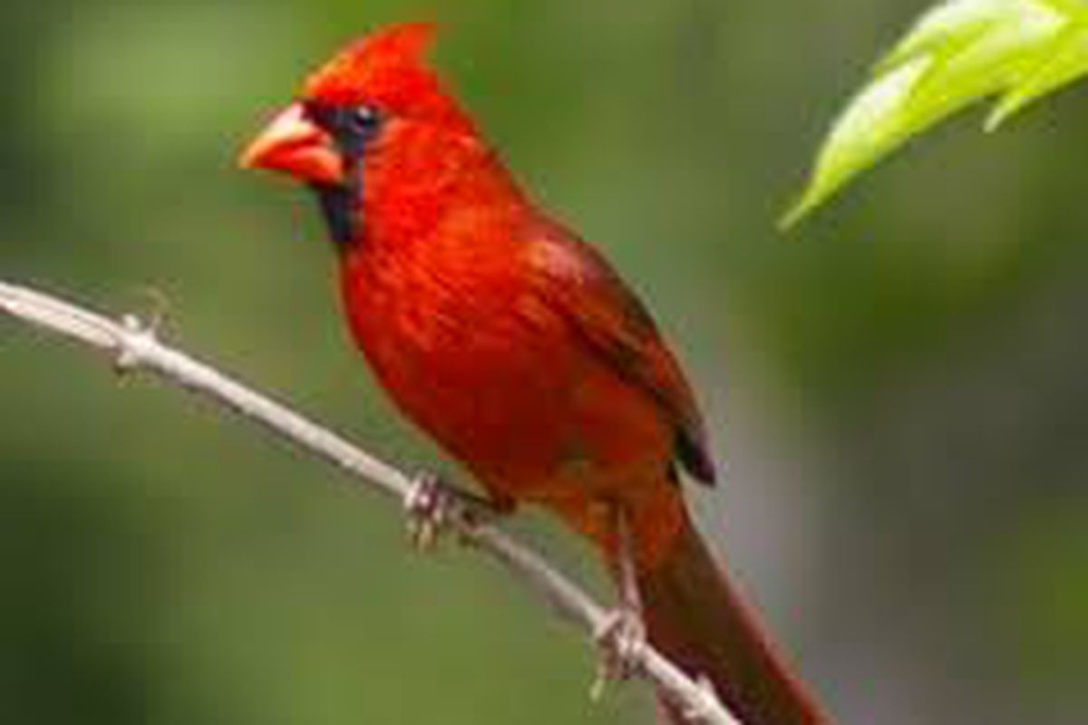 cardinals like the little birds em shakin the southland