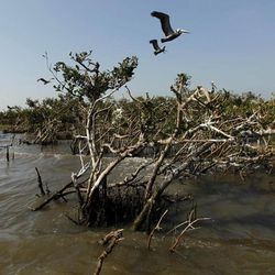 Pelicans are seen flying over mangrove isolated in the water near a the heavily eroded shoreline of Cat Island in Barataria Bay in Plaquemines Parish, La., Wednesday, April 11, 2012.