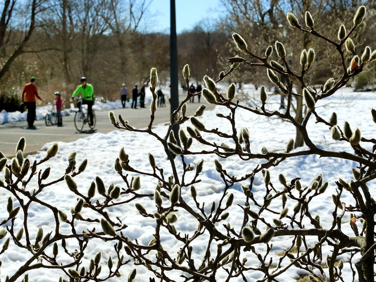 Spring comes to Arnold Arboretum.