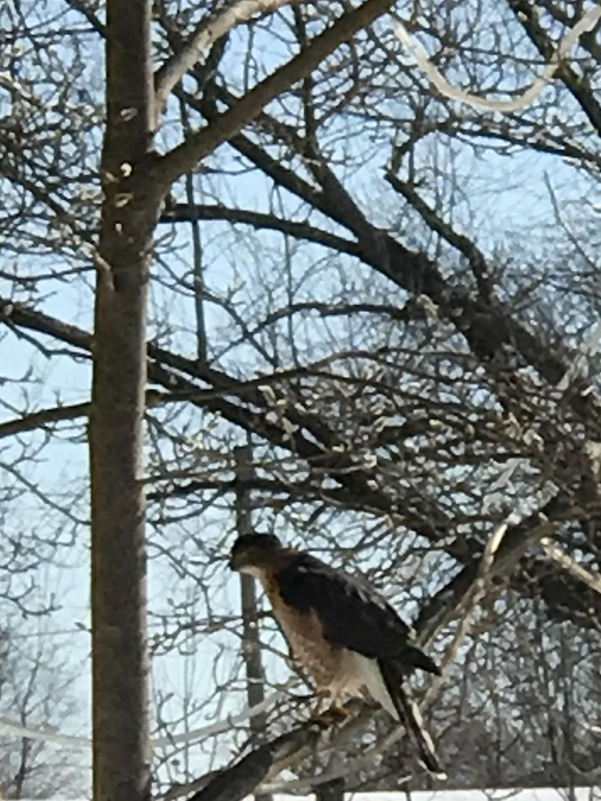 """A hawk chilling while Ken """"Husker"""" O'Malley ice fished. Provided photo"""