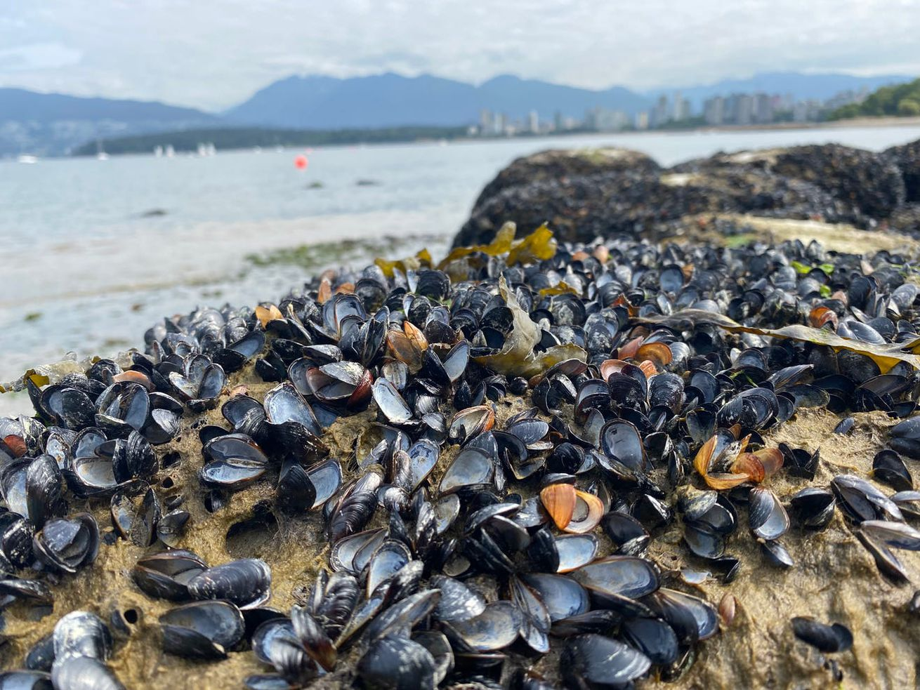 A bed of mussels cooked alive by extreme heat on the shoreline in Vancouver, British Columbia. Their shells are popped open, and their innards are dried out and picked over by scavengers.
