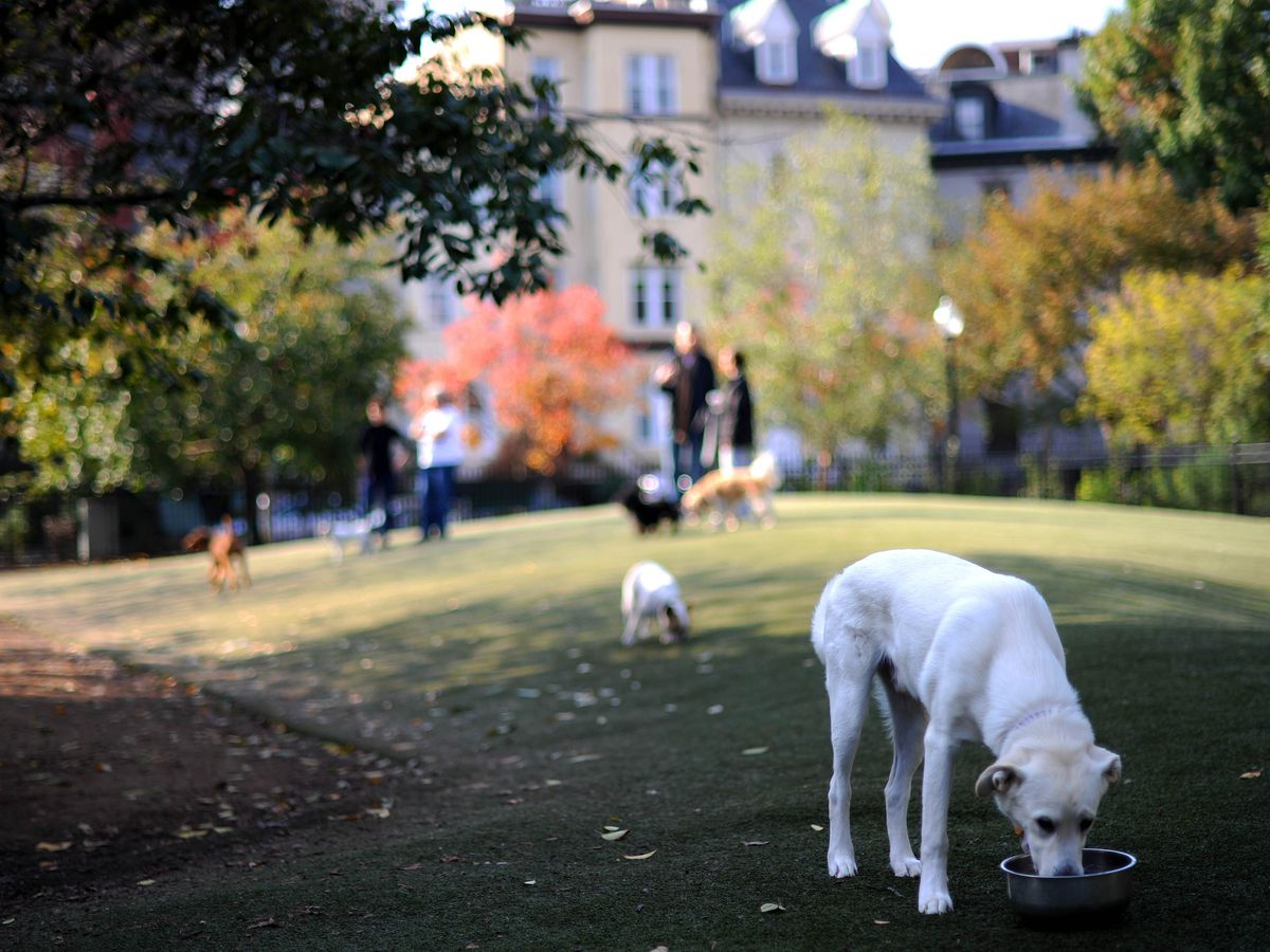 A white dog drinks out of a bowl at a triangular-shaped dog park. Other dogs play in the background.