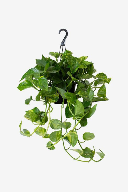 Hanging planter with trailing leaves.