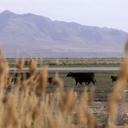 Cattle roam in the Ogden Bay Waterfowl Management Area on Monday, April 27, 2020.