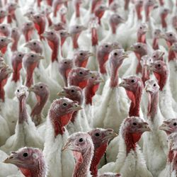 In a Wednesday, April 11, 2012 photo, turkeys raised without the use of antibiotics are seen at David Martin's farm, in Lebanon, Pa. The same life-saving drugs that are prescribed to treat everything from ear infections to tuberculosis in humans also are used to fatten the animals that supply the chicken, beef and pork we eat every day.  Farmers say they have to feed the drugs to animals to keep them healthy and meet America's growing appetite for cheap meat. But public health advocates argue that the practice breeds antibiotic-resistant germs in animals that can cause deadly diseases in humans.    (AP Photo/Matt Rourke)