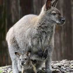 A Bennett's wallaby joey born approximately on October 31, 2020, and its mom, Becky. The two can be seen at Brookfield Zoo's Hamill Family Wild Encounters.