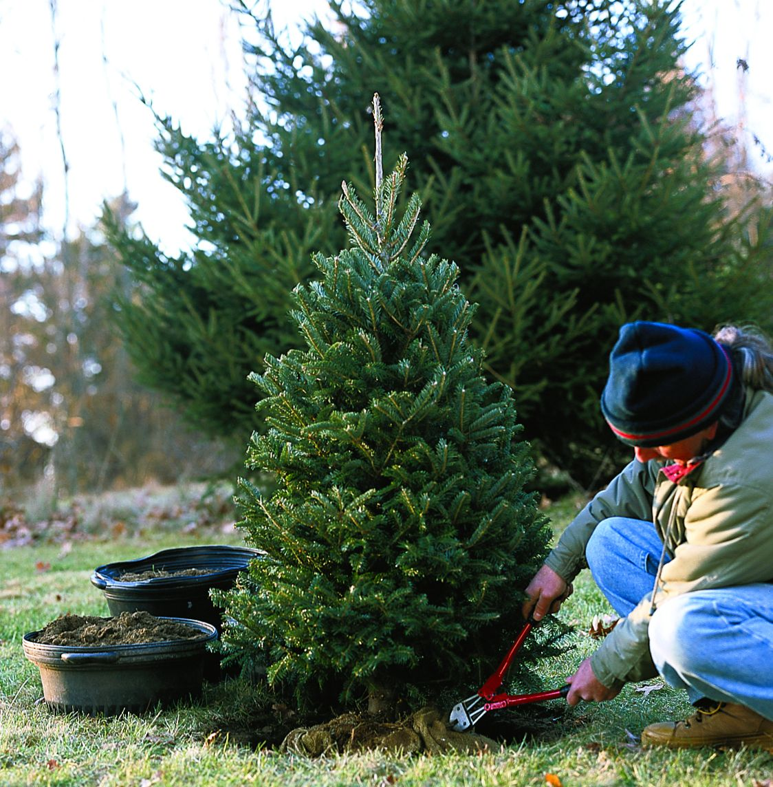 Person cutting away wire basket around the root ball of the Christmas tree plant to prepare to place it in the hole.