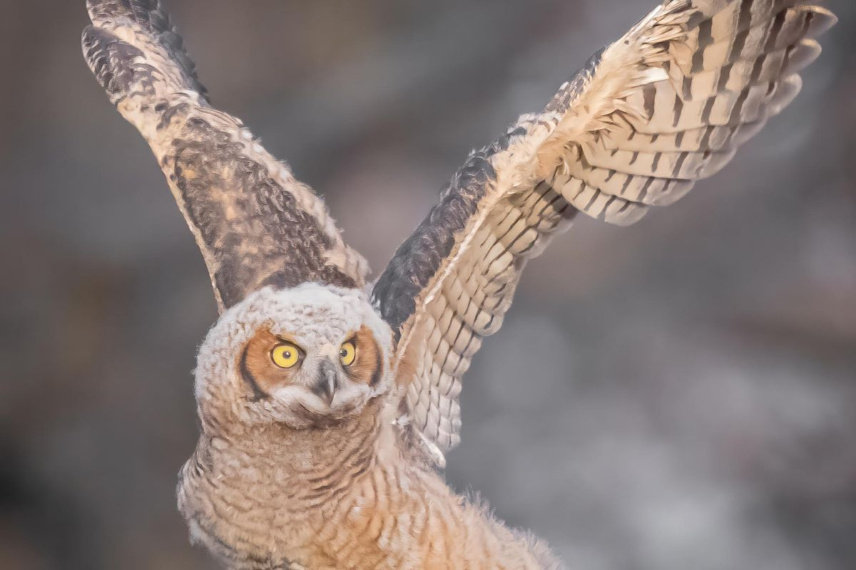 A great horned owl fledgling at a North Side park. Credit: Paul Vriend